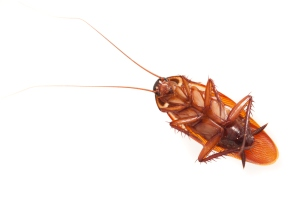 Close-Up Of Cockroach On White Background