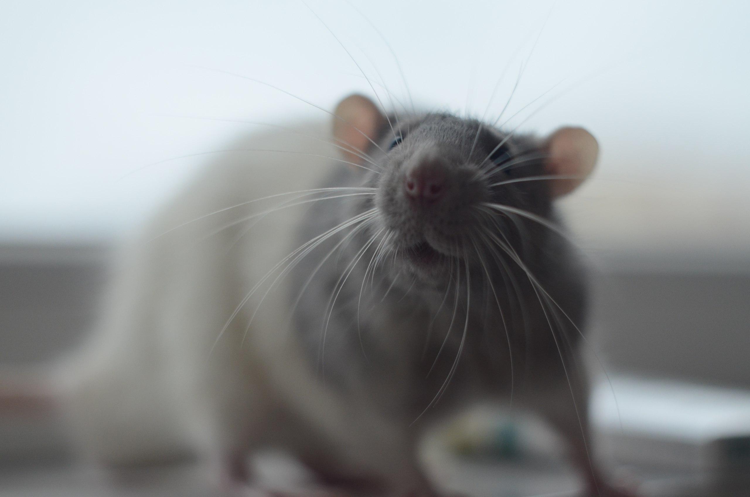 Close-Up Of Rat