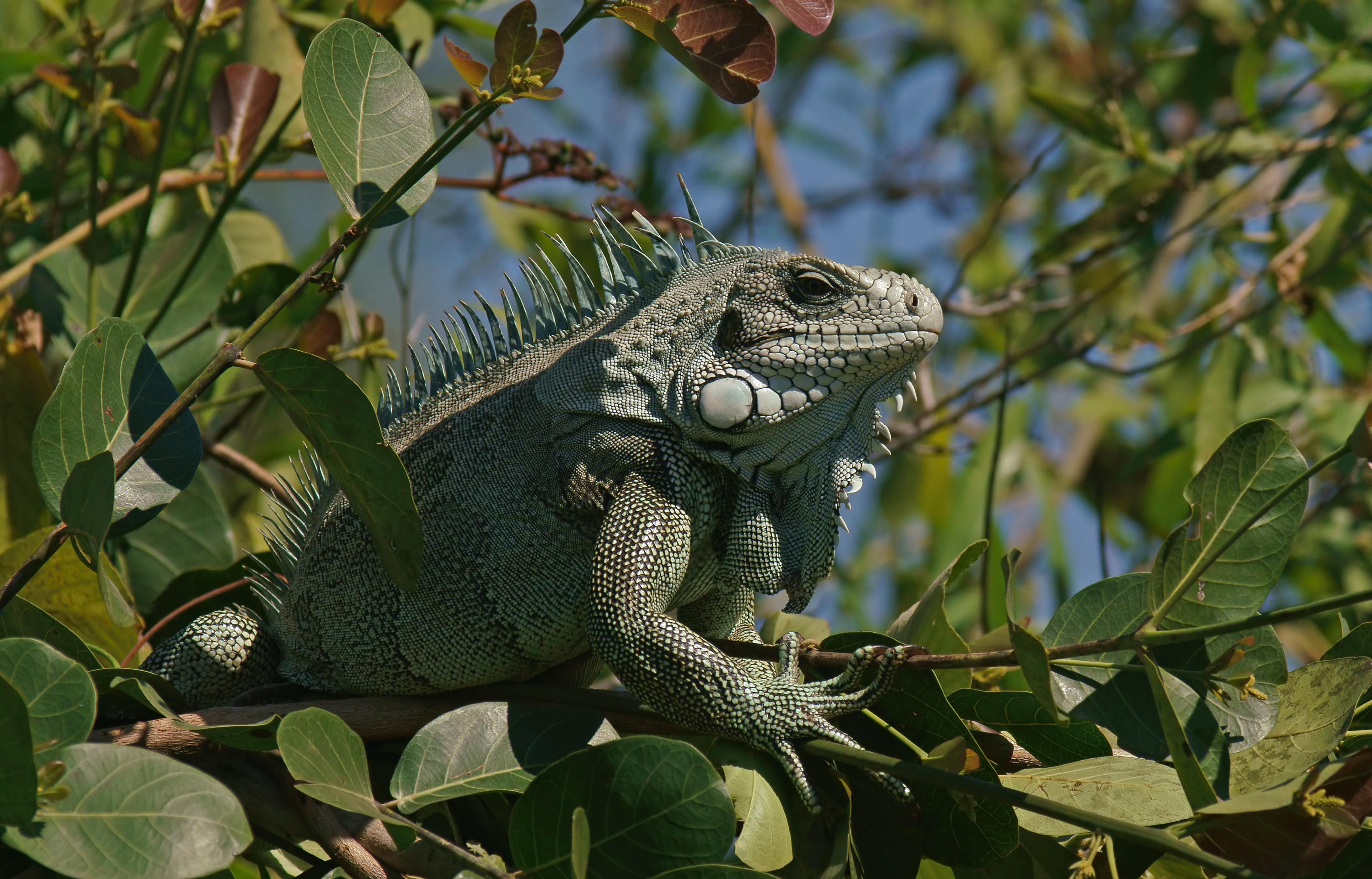 Green iguana (Iguana iguana) in the tree, Pantanal, Brazil