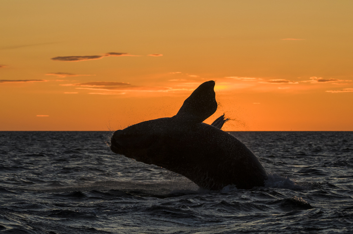 Whale In Sea Against Orange Sky