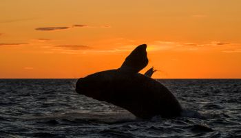 Whale In Sea Against Orange Sky